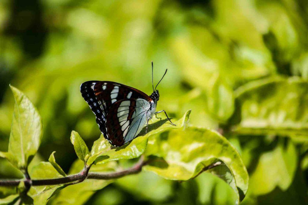 Le papillon Sylvain azuré prend le soleil sur une feuille d'arbre