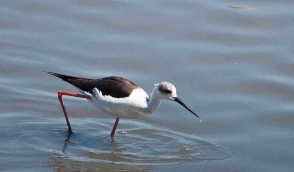 L'échasse blanche cherche de la nourriture au parc ornithologique du Teich