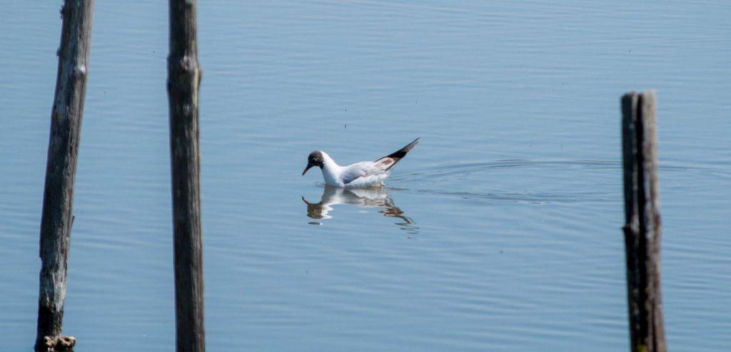 La mouette rieuse contemple son reflet dans l'eau